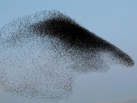 Starlings over Obridge viaduct in Taunton - Daily Mail