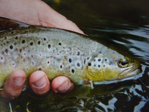 Nailsworth Stream trout - Jon Beer
