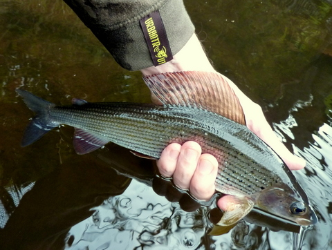 Urbantrout grayling 3