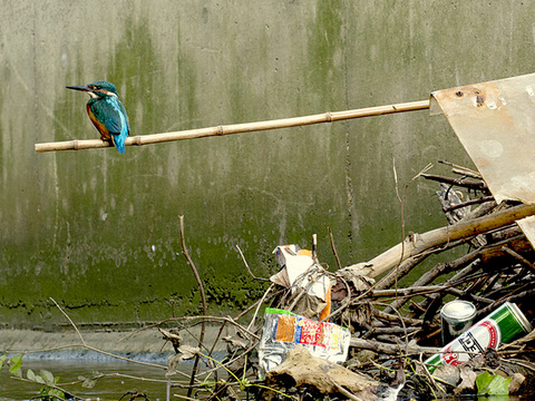 Common Kingfisher (Alcedo atthis) perched in an urban waterway in London, UK.