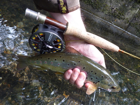 Wandle trout - summer 2014