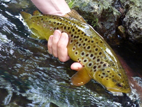 Wandle trout Aug 2014