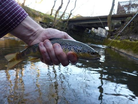 Buxton wild trout