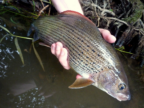 Leominster grayling 2
