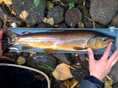 Colne trout - Mick Pogson