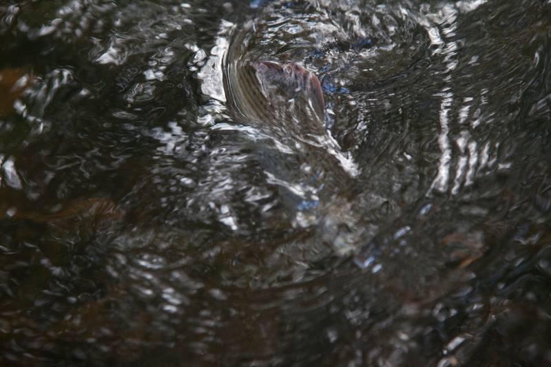 Grayling dorsal fin - Howard Sooley